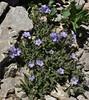 Polemonium viscosum, (syn. P. confertum) Sticky Jacob's-ladder. Bridger-Teton National Forest.