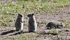 Spermophilus armatus, Uinta Ground Squirrel.