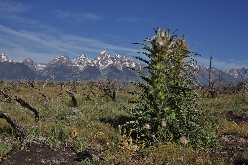 Cirsium scariosum, Elk Thistle. Teton National Forest.