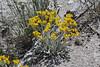 Senecio canus, Woolly Groundsel. near Shell Spring.
