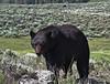 Ursus americanus, Black Bear, female and its cub.
