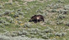 Ursus arctos, Grizzly Bear, near the Thunderer 3217m.