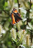 Nymphalis milberti on Salix spec., Milbert's Tortoiseshell on Willow. Bridger-Teton National Forest.