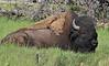 "Bison bison, bull American Bison ""Buffalo""."