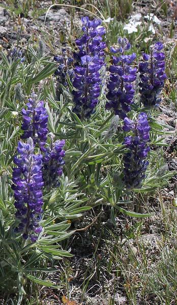 Lupinus argenteus, Silvery Lupine, Mount Washburn 3152m.