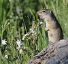 Spermophilus armatus with Silene douglasii, Uinta Ground Squirrel with Douglas' campion, Teton National Forest