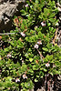 Arctostaphylos uva-ursi, Bearberry, Bridger-Teton National Forest