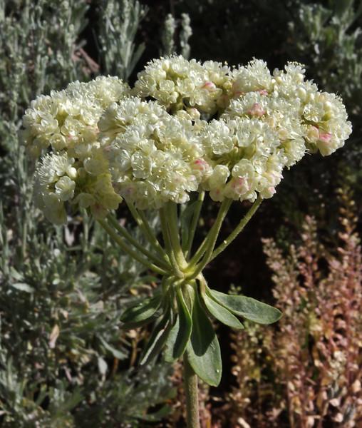 umbel  of Erigeron umbellatum, Sulphur Buckwheat, Teton National Forest.