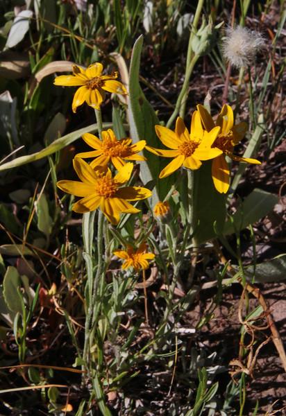 Eriophyllum lanatum, (syn. Actinella lanata), Oregon Sunshine, Teton National Forest.