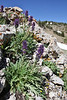 Phacelia sericea, Silky Phacelia, Bridger-Teton National Forest.