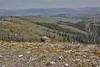 habitat with Phlox multiflora, Rocky Mountain Phlox and Sedum lanceolatum, Lance-Leaved Stonecrop, Mount Washburn 3152m.