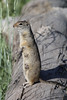 Spermophilus armatus, Uinta Ground Squirrel. Teton National Forest