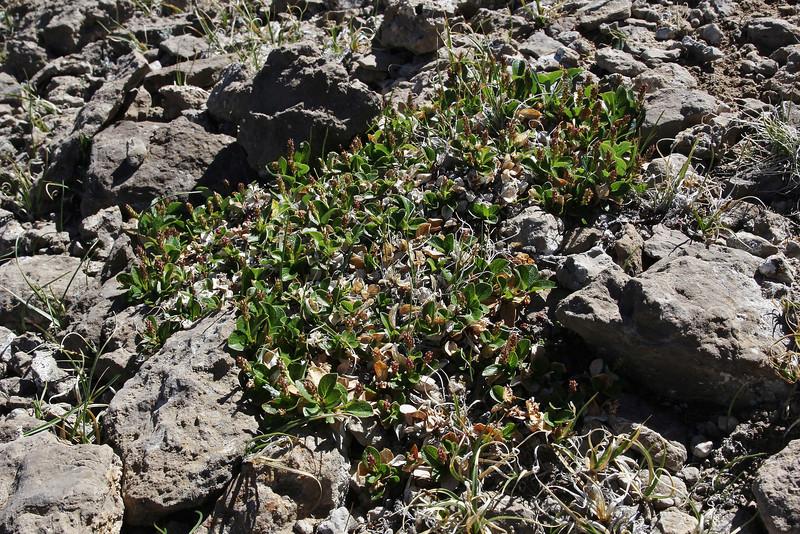 Salix nivalis (syn. S. saximontana) Netted Willow, Bridger-Teton National Forest