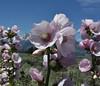 Iliamna rivularis, Mountain Hollyhock, Buffalo Fork, Bridger-Teton National Forest.