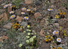 Townsendia parryi and sedum lanceolatum,