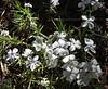 Phlox multiflora, Rocky Mountain Phlox, Northside of Jackson Lake