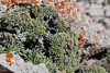 Petrophytum caespitosum, Mat Rock Spirea, Bridger-Teton National Forest