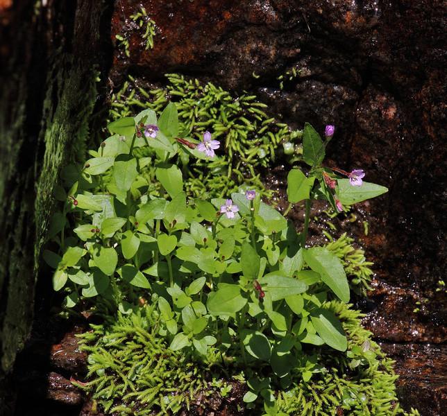 Epilobium anagallidifolium, (syn. E. alpinum), Alpine Willowherb