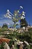 Ipomopsis aggregata var. candida, White Fairy Trumpet, Secret Lake Trail, Alta, UT.