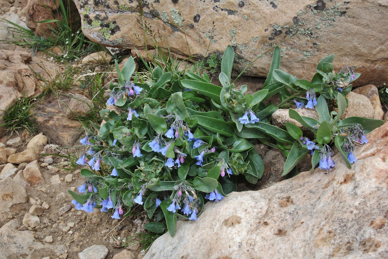 Mertensia alpina, Alpine Bluebells, Bald Mountain Trail, E of Oakley, UT.