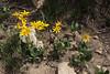 Arnica mollis, Hairy Arnica, Bald Mountain Trail, E of Oakley, UT.