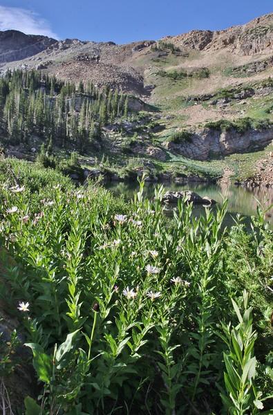 Eucephalis engelmannii, (syn. Aster engelmannii), Engelmann's Aster,  Secret Lake Trail, Alta, UT.