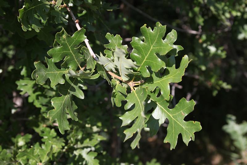 Quercus gambii, Gambel Oak.