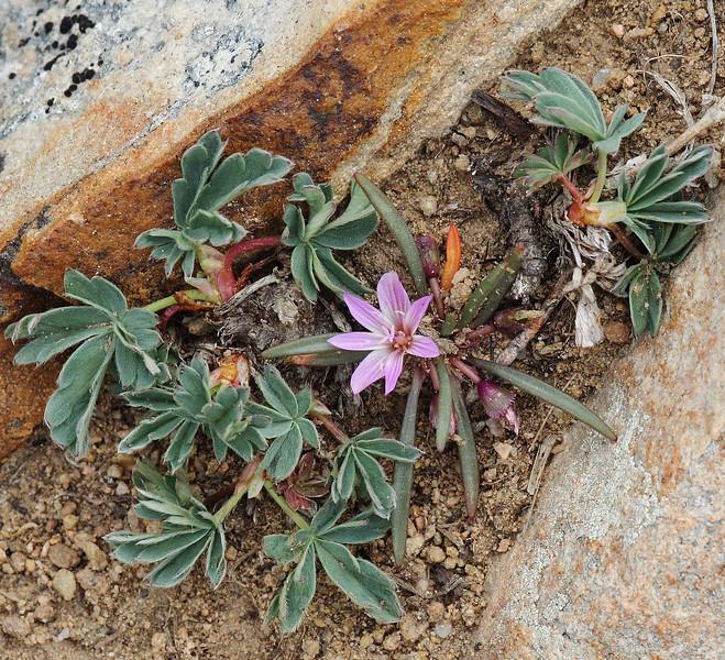 Lewisia pygmaea, (syn. Oreobroma pygmaea) Pygmy Bitterroot
