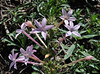 Ipomopsis tenuituba, Slendertube Skyrocket, E of Alpine, UT.