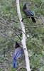 Cyanocitta stelleri, Steller's Jay, campground Yellow Pine, E of Kamas.