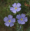 Linum lewisii (syn. L. perenne), Blue Flax, Wasatch Range