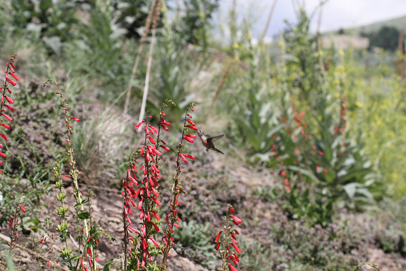 Selasphorus platycercus on Penstemon eatonii,     Female Broad-tailed Hummingbird on Firecracker Penstemon.