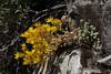 Sedum lanceolatum, Lance-Leaved Stonecrop. Mount Timpanogos Trail.