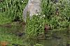 Cardamine cordifolia, Bittercress. Secret Lake Trail, Alta, UT.