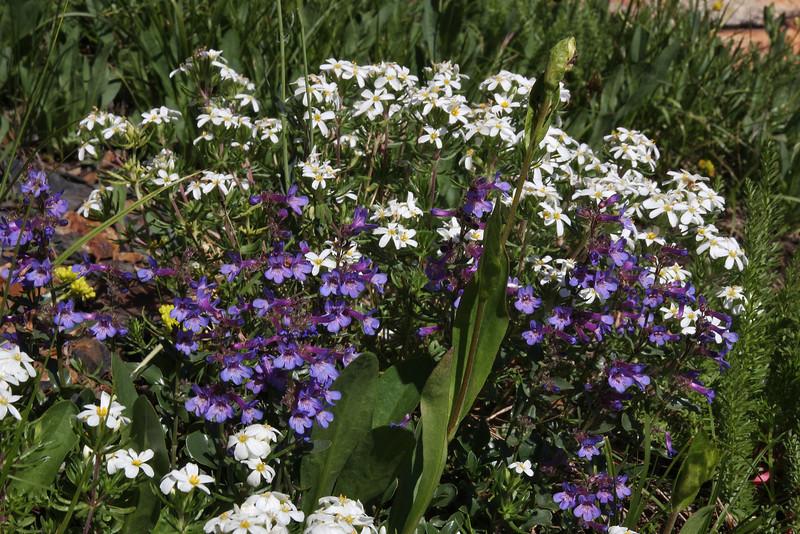Penstemon cyananthus (glaber), Wasatch Penstemon ( syn. Wasatch Beardtongue) and Linanthus nuttallii, Nutall's Linanthus, Secret Lake Trail, Alta, UT.