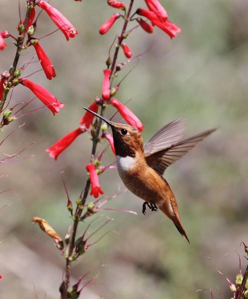 Selasphorus rufus on Penstemon eatonii, male Rufous Hummingbird on Firecracker Penstemon