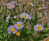 Aster foliaceus, Leafy Aster, Wasatch Range