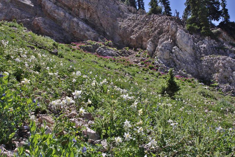 Aquilegia coerulea var. ochroleuca, Colorado blue Columbine, Catherine Pass Trail, Brighton, UT.