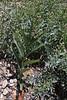 7 / 971<br /> <br /> Smilacina racemosa, False Solomon's Seal in fruit, E of Alpine, UT.