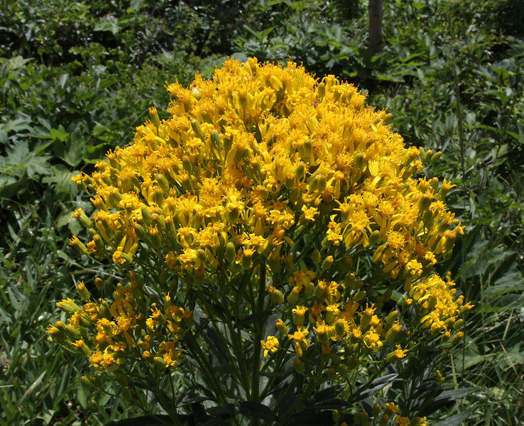 Solidago missouriensis, Smooth Goldenrod, E of Alpine, UT.