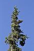 Picea engelmannii subs engelmannii
