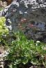 Anemone multifida var. multifida, Red Anemone, Catherine Pass Trail, Brighton, UT.
