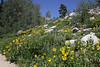 Helianthella uniflora, One-Flower Helianthella. Catherine Pass Trail, Lake Mary, Brighton, UT.