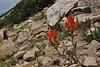 Castilleja applegatei, Applegates Paintbrush, Bald Mountain Trail, E of Oakley, UT.