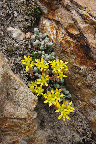 Sedum lanceolatum, Lanceleaf Stonecrop. Secret Lake Trail, Alta, UT.