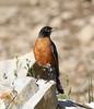 Turdus migratorius, American Robin, Secret Lake Trail, Alta, UT.