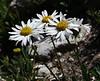 Erigeron flagellaris, Trailing Daisy, Catherine Pass Trail, Brighton, UT.
