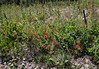 Gilia aggregata, (syn. Ipomopsis aggregata), Scarlet Gilia. Mount Timpanogos Trail.