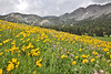 Wildflower meadows at Little Cottonwood valley, Alta, UT.
