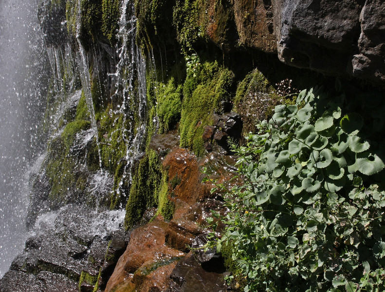 Saxifraga odontoloma, Brook Saxifrage. Mount Timpanogos Trail.